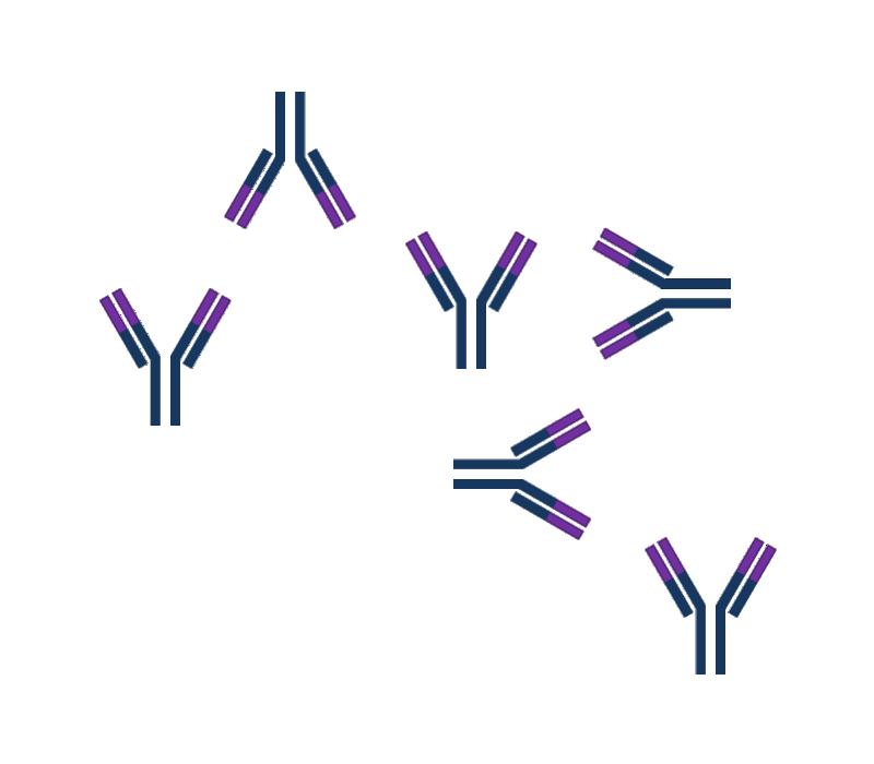 K Antigen Antigen-Antibod...